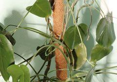 Kookoskepp 60 cm
