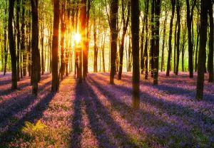 Fototapeet Woodland at Dawn
