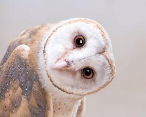 Sisustuspilt Reinders Barn Owl