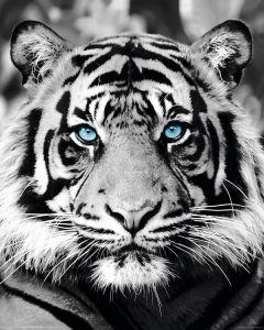 Sisustuspilt Reinders Blue Eyed Tiger