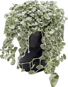 Valik lehtdekoratiivseid taimi