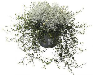 Padipõõsas ja põim ronitatar Ø 12 cm
