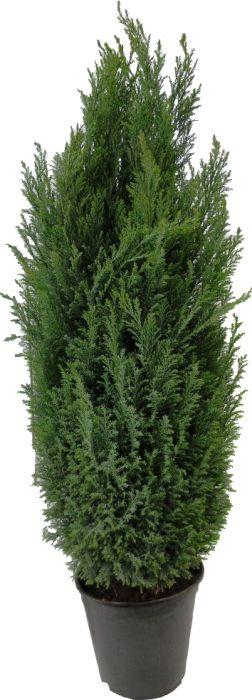 Kalifornia ebaküpress Lawsoniana  Ø 21 cm