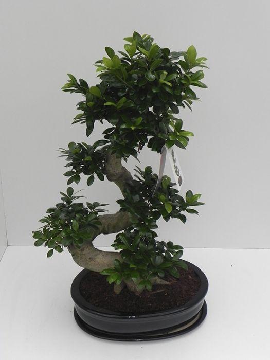 Väikeseviljaline viigipuu Ginseng Ø 52  cm