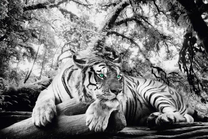 Sisustuspilt Tiger is watching you 60 x 90 cm