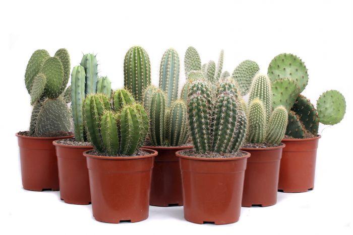 Kaktus kanaari Ø 20 cm