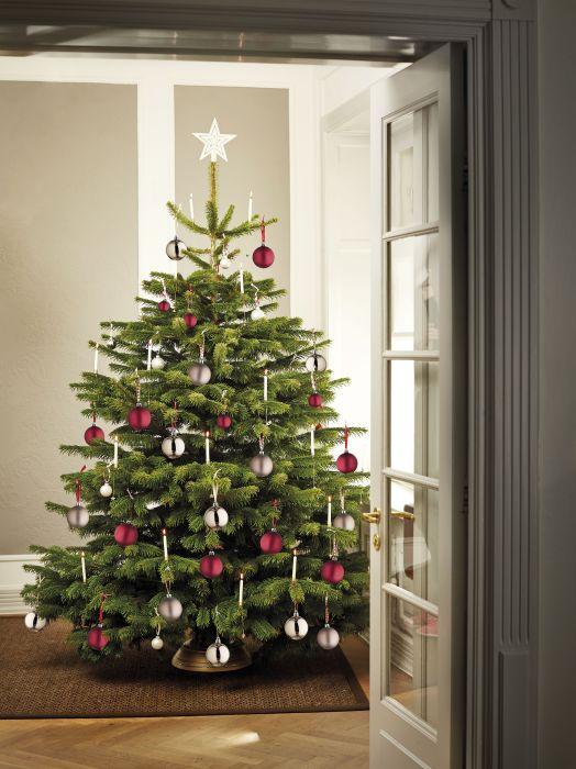 Jõulukuusk Picea Abies 200 - 250 cm