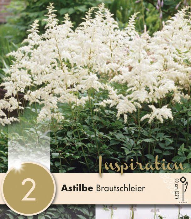 Arendsi astilbe Brautschleier 1 tk