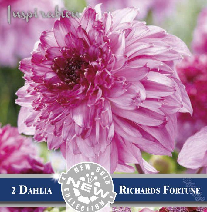 Daalia  Richard Fortune 2 tk