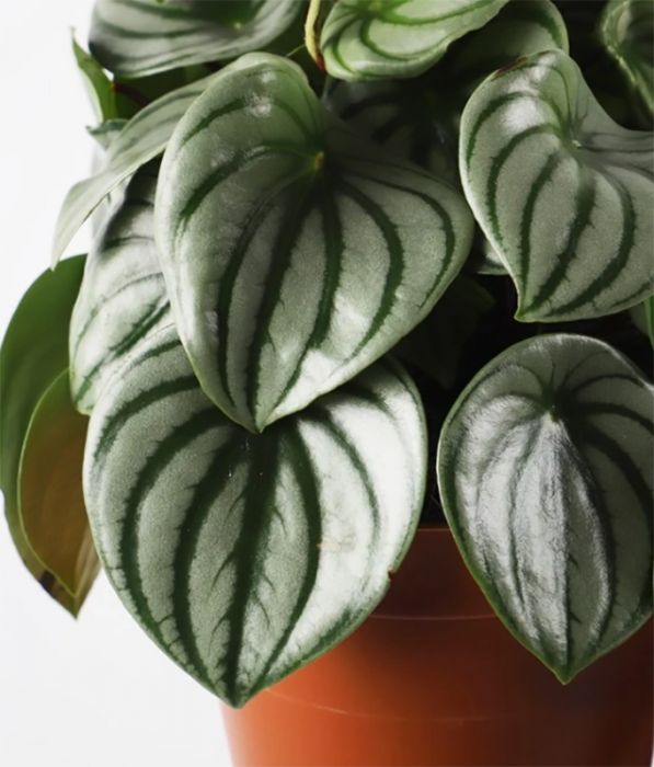Peperoomia Ø 12 cm