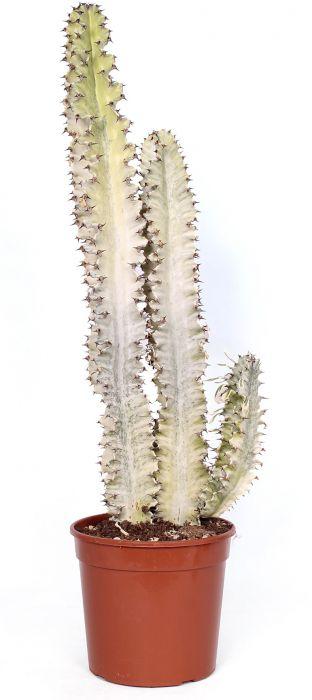 Etioopia piimalill Variegata  Ø 21 cm