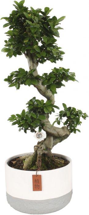 Väikeseviljaline viigipuu Ginseng Ø 26 cm