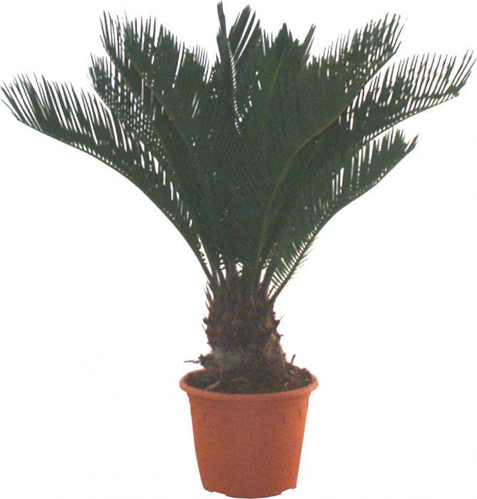 Rahu-palmlehik Ø 19 cm