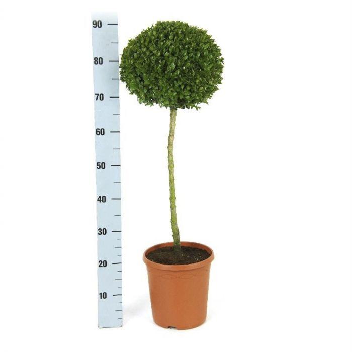 Harilik pukspuu valik Ø 23 cm