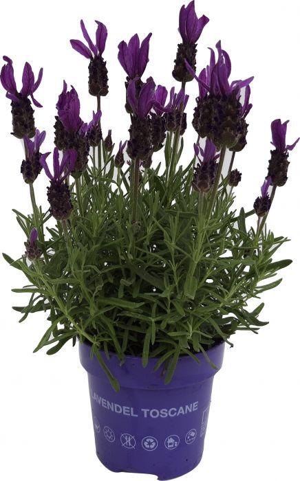 Prantsuse lavendel Toscane Ø 12 cm