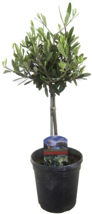 Oliivipuu tüvel Ø 15 cm
