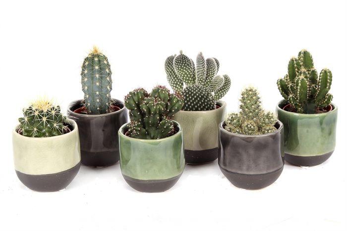 Kaktuste valik Ø 6 cm