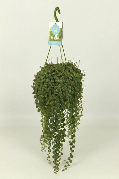 Peperoomia Ø 14 cm
