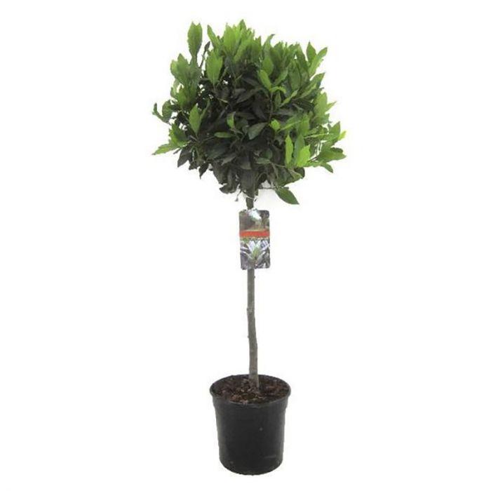 Harilik Loorberipuu170 cm