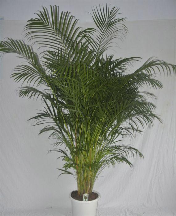 Kollakas pisipalm Ø 32 cm