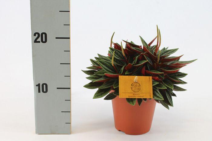 Peperoomia Rosso Ø 12 cm