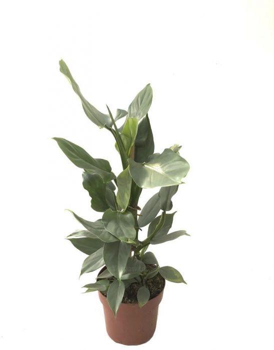 Odajas filodendron Ø 17 cm