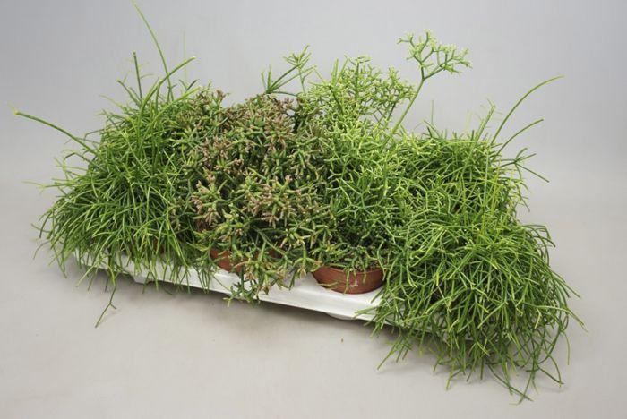 Helmekaktus mix Ø 8,5 cm
