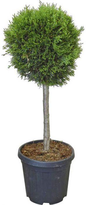 Harilik elupuu pall tüvel 80-100 cm