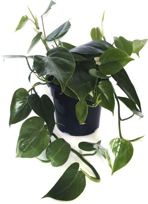 Roniv filodendron Ø 12 cm