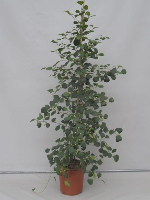 Roostelehine viigipuu Ø 24 cm