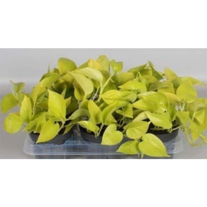 Sulgjas nõelköis Golden Pot Ø 12 cm