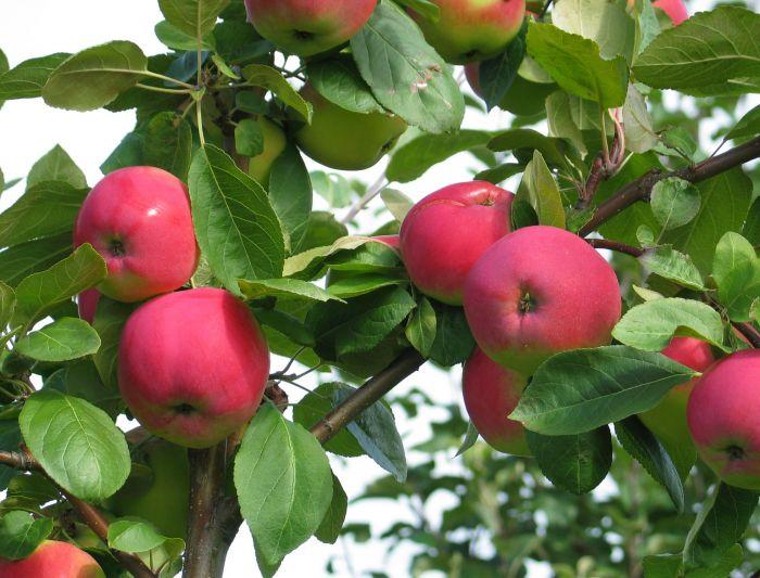 Õunapuude valik