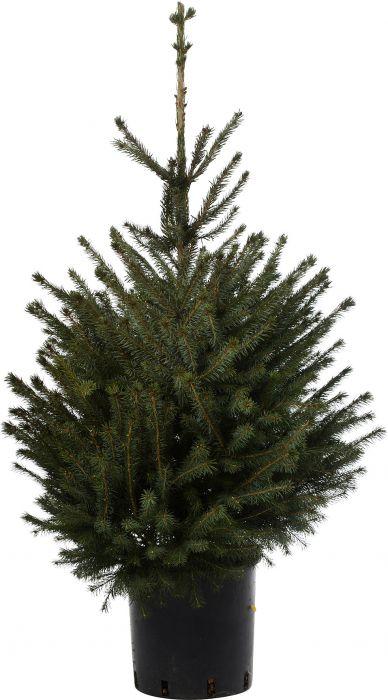 Potikuusk 80 - 100 cm Picea Abies