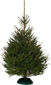 Jõulukuusk Picea Abies 220 - 250 cm