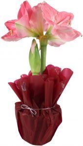 Amarüll Exclusive roosa